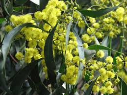 african native plants acacia pycnantha wikipedia
