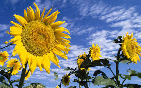 foto wallpaper bunga matahari bunga matahari berwarna warni hd wallpaper desktop layar lebar