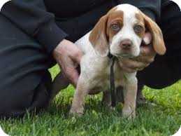 bluetick coonhound beagle edon oh bluetick coonhound meet ezmerelda adopted a dog for