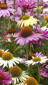 365 best cone flowers images on pinterest flowers art flowers