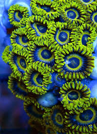 led lighting for zoanthids blue and green zoanthids that were for sale imagine having this in