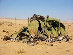 ephedra plant wikipedia welwitschia u2013 an exceptional long leafed gymnosperm the mantis