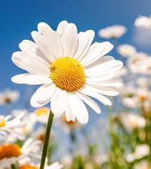 flower images top 25 most beautiful daisy flowers