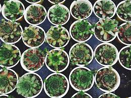 Succulents That Don T Need Light How To Propagate Succulents Sunnyside Gardens