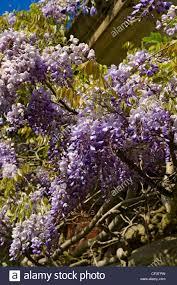 wisteria plant climbing wall stock photos u0026 wisteria plant