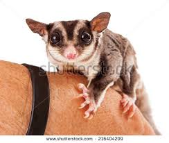 sugar glider stock images royalty free images u0026 vectors