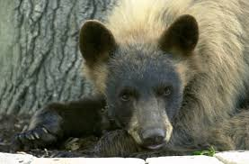 Colorado Gmu Map by Colorado Bear Population Much Bigger Than Expected New Study