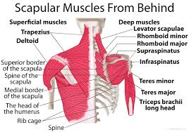 Human Shoulder Diagram Scapula Shoulder Blade Anatomy Muscles Location Function
