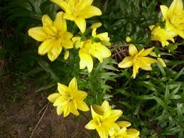 yellow lilies how to grow asiatic lilies dengarden