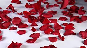 Rose Petals Hd U0026 4k Rose Petals Videos Videoblocks Royalty Free Rose Petals