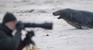 november birth animal hundreds of grey seals give birth to pups on german beach