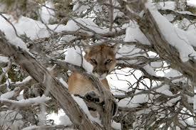 cougar v wolf big cat week episode nat geo wild