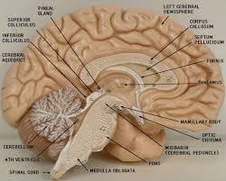 Human Anatomy Martini 806 Brainlab