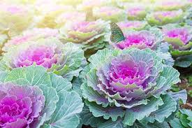 farms fall resources ornamental cabbage kale
