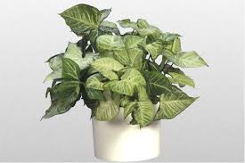 houseplants poisonous to cats arrowhead plant houseplant411