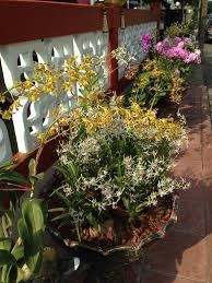 dendrobium orchid on tapatalk trending discussions about your