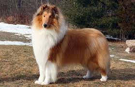 australian shepherd 6 mesi peso collie dog breed temperament information u0026 facts