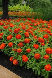 Long Blooming Annual Flowers - favorite summer blooming annuals hgtv