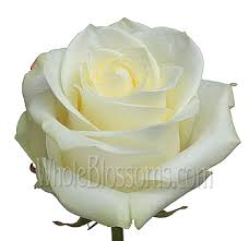 white roses for sale s day organic roses beautiful biological organic roses