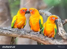 lovely sun conure parrot birds on stock photo 451292563 shutterstock