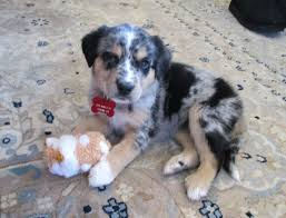 australian shepherd puppy 2 months salt pet of the month nell salt shaker state u0026 local tax