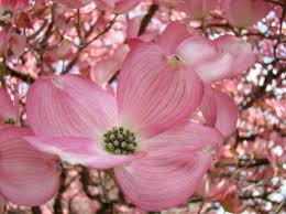 trees with pink flowers gorgeous pink flowering dogwood tree and to the garden add