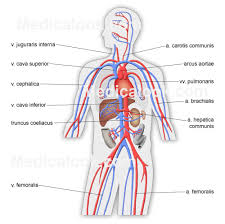 simple human circulatory system for kids inner body archives