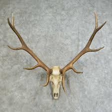 elk skull u0026 antler european mount 16117 for sale the taxidermy