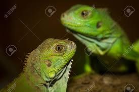 imágenes de iguanas verdes iguanas verdes en la madera en el parque zoológico fotos retratos