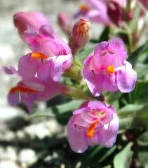 colorado native plant society unique wild flower protection restored earthjustice