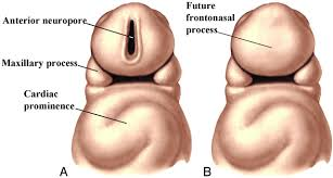 Parts Of The Face Anatomy Illustrated Review Of The Embryology And Development Of The