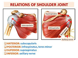 Subscapularis And Supraspinatus Anatomy Of The Shoulder Region Ppt Download