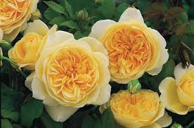 Fragrant Rose Plants - rose u0027teasing georgia u0027 ausbaker