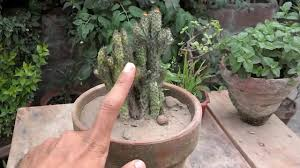 how to grow indoor cactus plant fertilizing cactus how to care