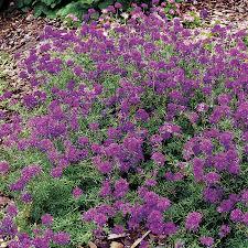 verbena flower imagination verbena seeds