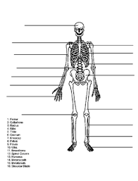 skeleton quiz test name the bones of the skeletal system answer key