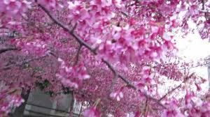 Cherry Blossom Tree Facts by National Cherry Blossom Festival Washington D C 2013 Youtube