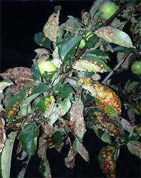Best Fruit Trees For North Carolina - fruit trees bushes and vines for natural growing in the ozarks