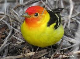 Nevada Birds images Welcome to birding in nevada jpg