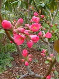 paghat s garden chaenomeles x superba light