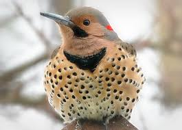 serenity cove wild about woodpeckers