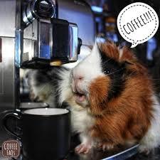 Shaved Guinea Pig Meme - guinea pig lovers tumblr