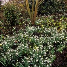 snowdrops beneath shrubs at anglesey abbey winter gardens u2026 flickr