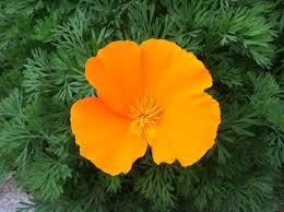 california native grasslands association california poppy