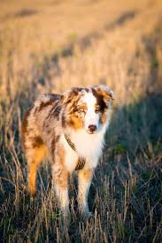 australian shepherd spaniel mix best 20 red merle australian shepherd ideas on pinterest aussie