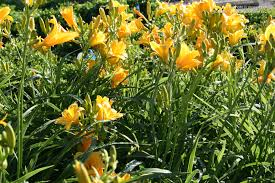 stella daylily s photo gallery plants perennials daylily stella d oro