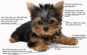 teacup yorkie haircuts pictures tips for teacup yorkies owners teacup yorkie