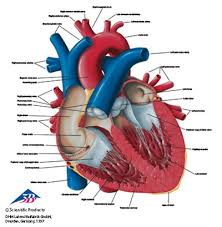 Human Anatomy T Shirts Anatomical T Shirt Heart Anatomy Models And Anatomical Charts