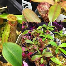 native plant seeds for sale a blog for carnivorous plant growers and nepenthes enthusiasts
