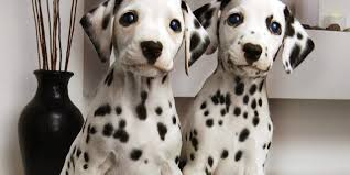 Types Of Dogs So You Want A Dalmatian Are You Sure Types Of Dogs